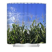 Field Of Corn Against A Clear Blue Sky Shower Curtain