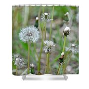 Dandelions In Seed Shower Curtain