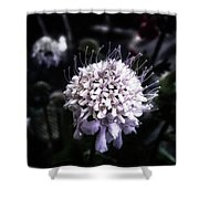 Field Scabious. A Member Of The Shower Curtain