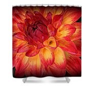 Fiery Red And Yellow Dahlia Shower Curtain