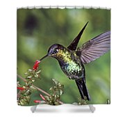 Fiery-throated Hummingbird Panterpe Shower Curtain