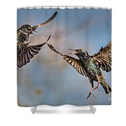 Fighting  Starlings Shower Curtain