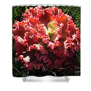 Fire Color Succulent. Curly Plant, Exotic Shower Curtain