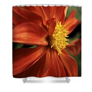 Fire Dahlia Shower Curtain