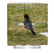 First Robin Of Spring Shower Curtain