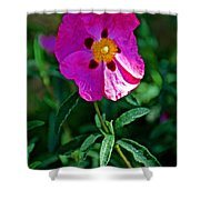 Orchid Rock Rose At Pilgrim Place In Claremont-california  Shower Curtain