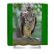 Fledgling Hawk Shower Curtain