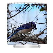 Florida Blue Jay Shower Curtain