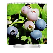Florida - Blueberries - On The Bush Shower Curtain