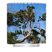 Florida Cedar Tree Shower Curtain