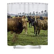 Florida Cracker Cows #2 Shower Curtain