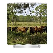 Florida Cracker Cows #3 Shower Curtain
