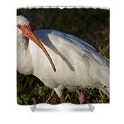 Florida White Ibis  Eudocimus Albus Shower Curtain