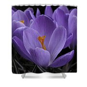 Flower Crocus Shower Curtain