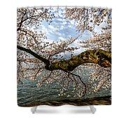 Flowering Cherry Tree Shower Curtain