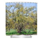 Flowering Huisache Tree  Shower Curtain