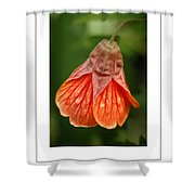 Flowering Maple Macro Poster Shower Curtain