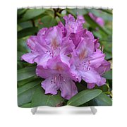 Flowering Pink Rhododendron Blossoms On A Bush Shower Curtain
