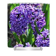Flowering Purple Hyacinthus Flower Bulb Blooming Shower Curtain