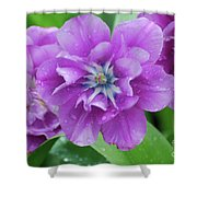 Flowering Purple Tulips With Raindrops From A Spring Rain Shower Curtain