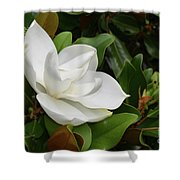 Flowering White Magnolia Blossom On A Magnolia Tree Shower Curtain