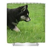 Fluffy Alusky Puppy Stalking In Green Grass Shower Curtain