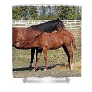 Foal Feeding With Milk Ranch Scene Shower Curtain