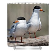Forster's Terns Shower Curtain