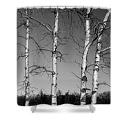 Four Naked Birches Bw Shower Curtain