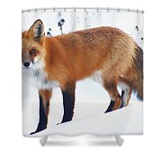 Fox On The Prowl Shower Curtain