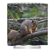 Fox Squirrel On A Branch  Shower Curtain