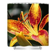 Frans Hals Daylily Hybrid Shower Curtain
