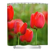 Fresh Spring Tulips Flowers With Water Drops In The Garden  Shower Curtain
