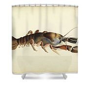 Fresh Water Crayfish Unsigned Sketches Attributed To William Buelow Gould Shower Curtain