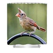 Friendly Female Cardinal  Shower Curtain
