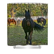 Friesian Horses - Pasture Shower Curtain