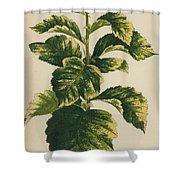 Frosted Thorn, Crataegus Prunifolia Variegata Shower Curtain