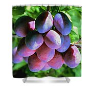 Fruit Plums  On Tree Shower Curtain