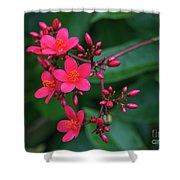 Jatrohpa Bush Blooms Shower Curtain