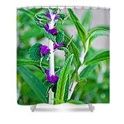Salvia At Pilgrim Place In Claremont-california  Shower Curtain