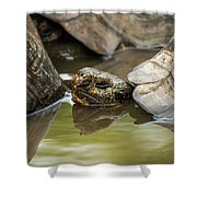 Galapagos Giant Tortoise In Pond Behind Another Shower Curtain