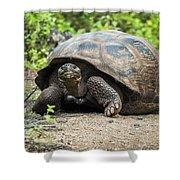 Galapagos Giant Tortoise Walking Down Gravel Path Shower Curtain