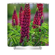 Gallery Red Lupines Shower Curtain