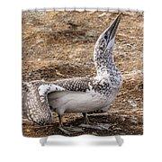 Gannet Chick 1 Shower Curtain