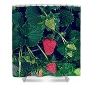 Ripening Garden Strawberries  Shower Curtain