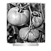 Garden Tomatoes In Black And White Shower Curtain