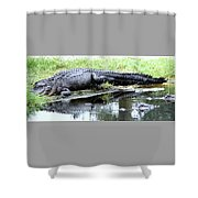 Gator On The Shore Shower Curtain
