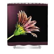 Gazania On Dark Background 2 Shower Curtain