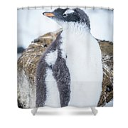 Gentoo Penguin With Turned Head On Snow Shower Curtain