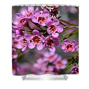 Geraldton Wax Flowers, Cwa Pink - Australian Native Flower Shower Curtain